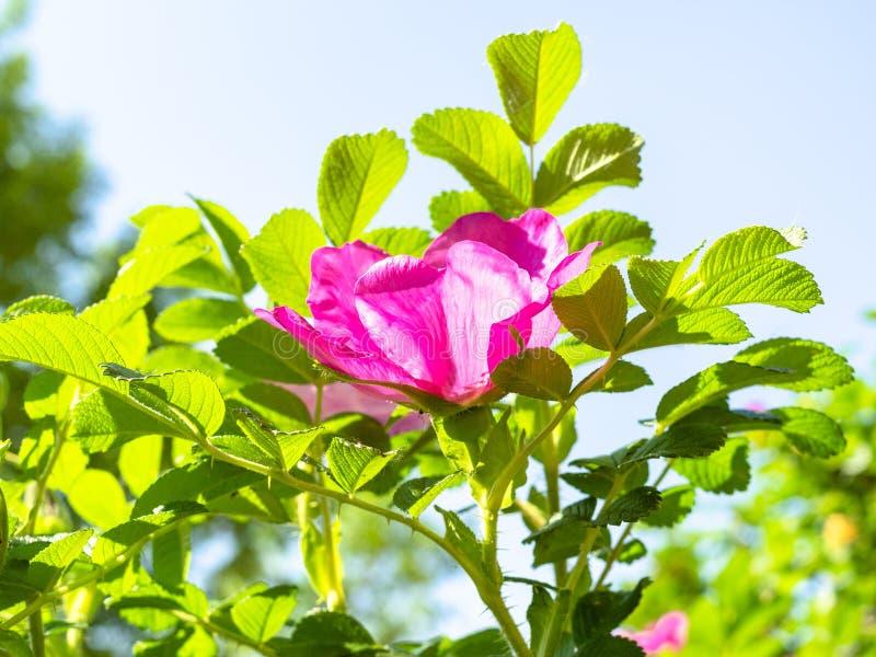 rosa blomma av hundrosen och blå himmel på bakgrund arkivfoton