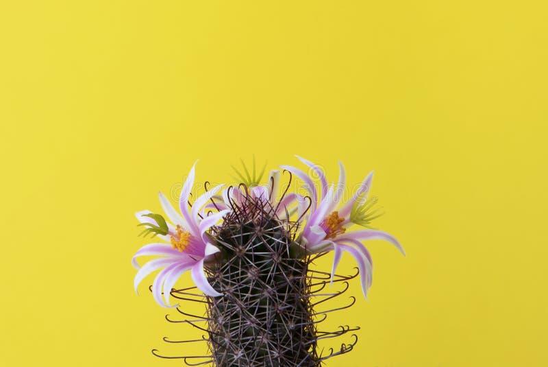 Rosa blomma av kaktuns som dess stammar har taggar på gul bakgrund royaltyfria bilder