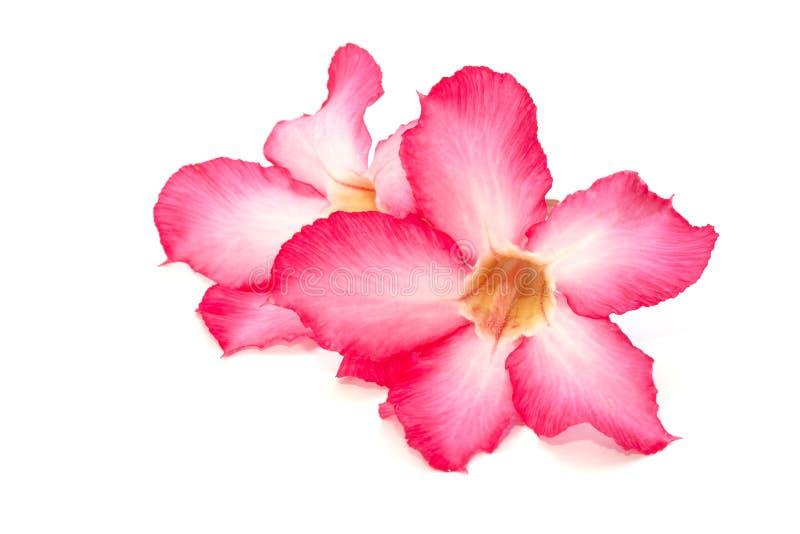Isolerad rosa blomma för öken arkivbild