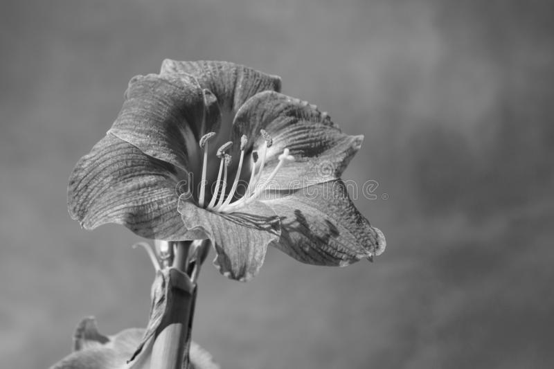 Rosa blomma för Amaryllis belladonnalilja med bakgrund för blå himmel royaltyfria bilder