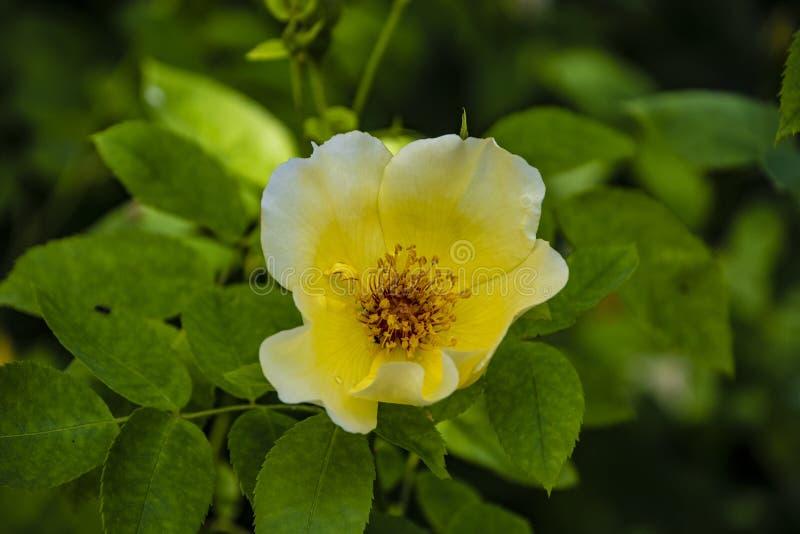 Rosa blomma för gula skotsk whisky i trädgården Latinskt: rosa laevigata eller rosa spinossima royaltyfria bilder