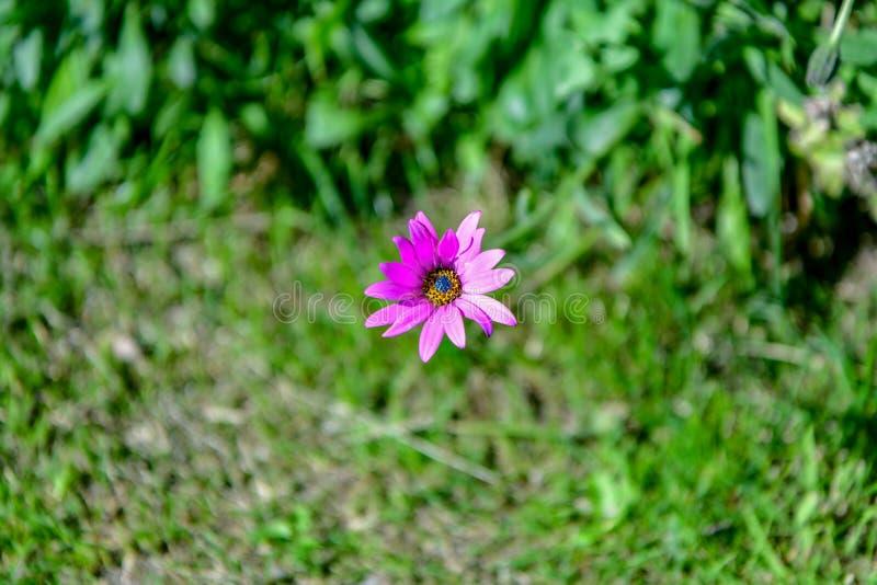 Rosa blomma för härlig purpurfärgad osteospermum som eller för afrikansk tusensköna isoleras på gräsplan arkivfoto