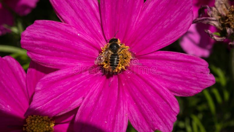Rosa blomma för kosmos med biet royaltyfri foto