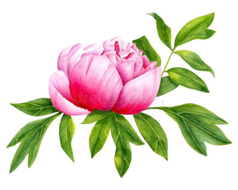Rosa blomma för vattenfärg med sidaillustrationen Handen målade trädgårdpionen som isolerades på vit bakgrund för garnering, vektor illustrationer