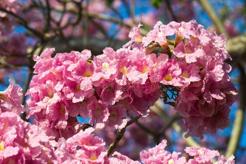Rosa blomma f?r blomma f?r trumpettr?d Tr?d f?r trumpet f?r gemensamt namn f?r Bignoniaceae f?r Tabebuia roseafamilj rosa eller r arkivfoto