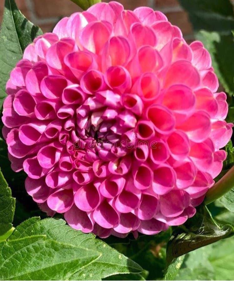 Rosa blomma i blom royaltyfria foton