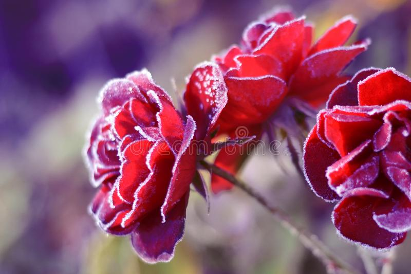 Rosa blomma i rimfrost i tr?dg?rd F?rsta frost royaltyfri bild
