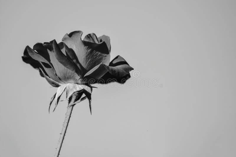 Rosa blomma i svartvit closeup royaltyfria bilder
