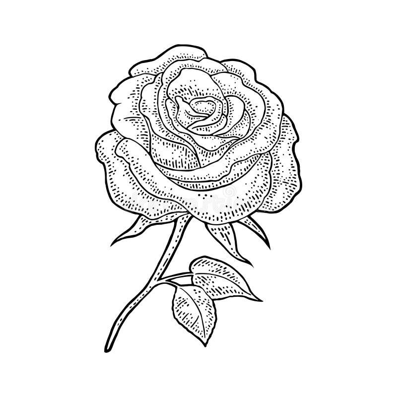 Rosa blomma med bladet svart gravyrtappningillustration p? vit bakgrund vektor illustrationer