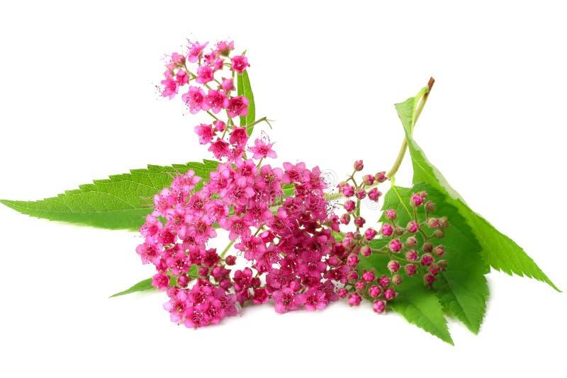 rosa blomma med det gröna bladet som isoleras på vit bakgrund Top besk?dar arkivfoto