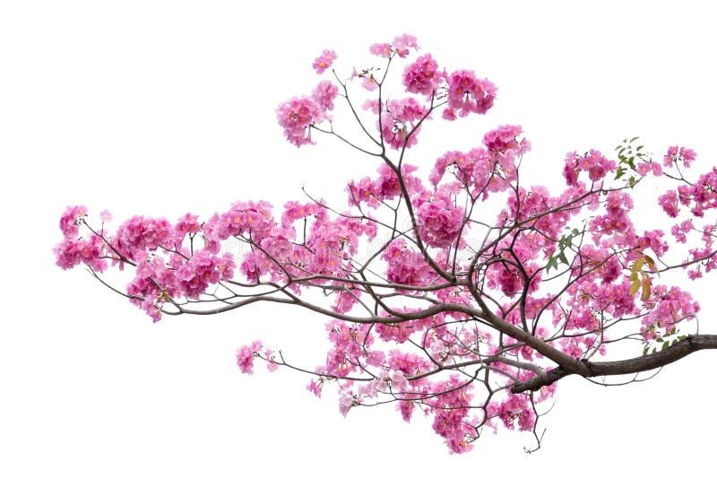 Rosa blomma- och trädfilial som isoleras på vit bakgrund royaltyfri fotografi