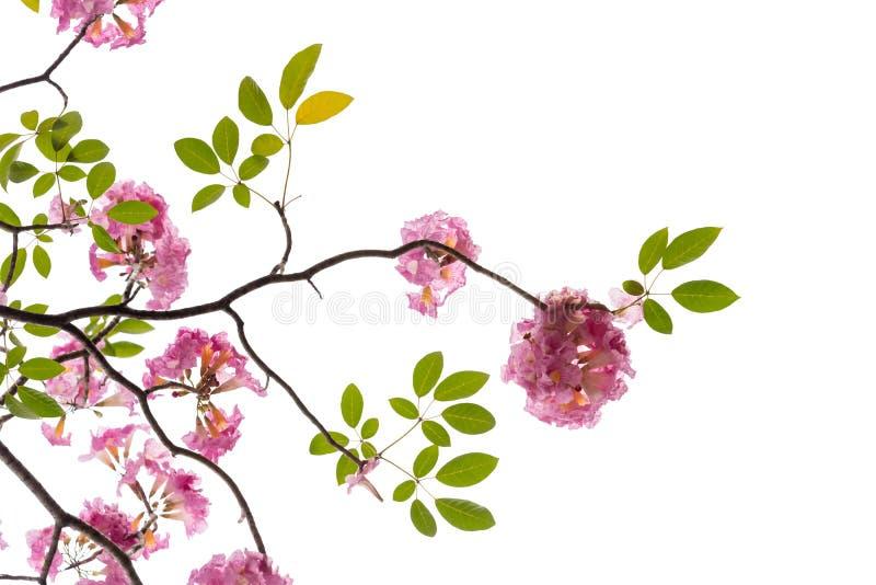 Rosa blomma- och trädfilial som isoleras på vit bakgrund royaltyfri foto