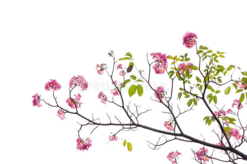 Rosa blomma- och trädfilial som isoleras på vit bakgrund royaltyfri bild