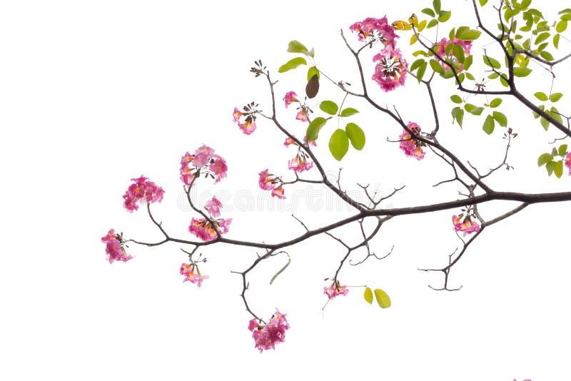 Rosa blomma- och trädfilial som isoleras på vit bakgrund arkivbild