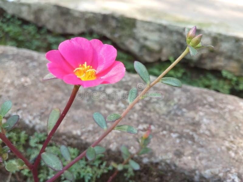 Rosa blomma på aftonen fotografering för bildbyråer