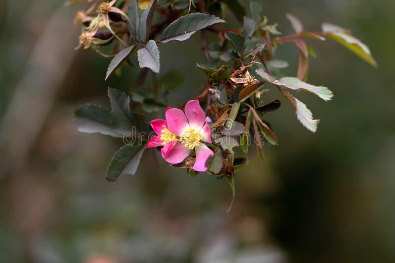 Rosa blomma på ett filialslut upp arkivbild