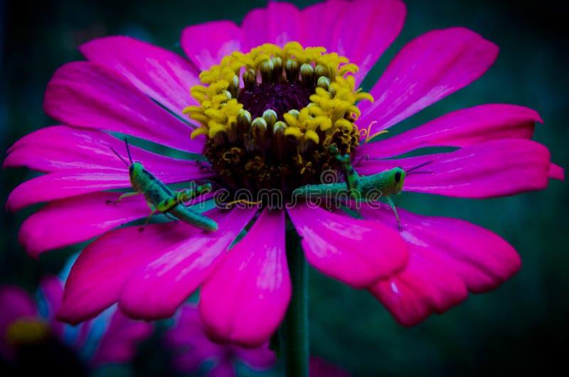Rosa blomma som blommar och att behandla som ett barn gräshoppan arkivbild