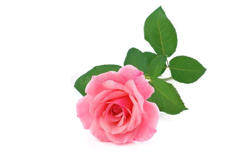 Rosa blomma som isoleras på vit arkivfoto