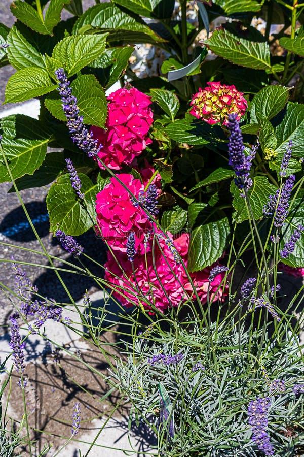 Rosa blomma vanlig hortensia som planteras med purpurfärgad lavendel i rabatt royaltyfri foto