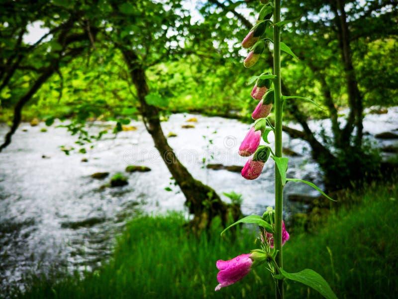 Rosa blomma vid floden royaltyfri foto