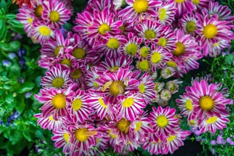 Rosa blommaaster i trädgården Thailand royaltyfria bilder