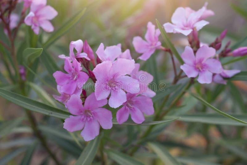 Rosa blommaaura för oleander av förälskelse royaltyfria bilder