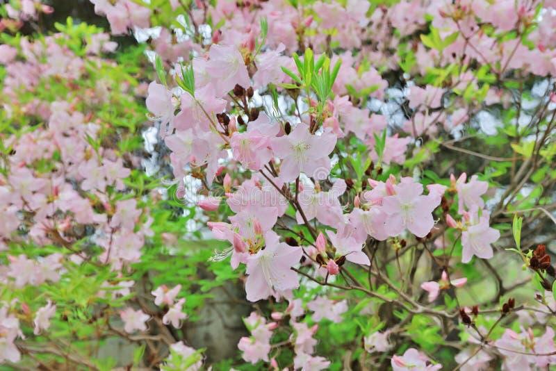 rosa blommablom i morgonen arkivbild