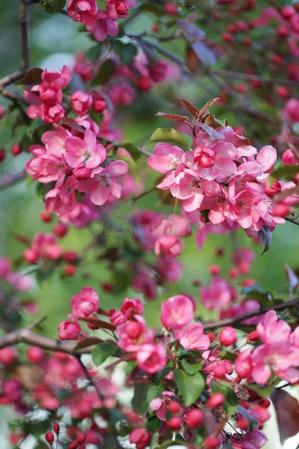 Rosa blommablomningApple träd som isoleras på naturgräsplanbakgrund arkivbilder