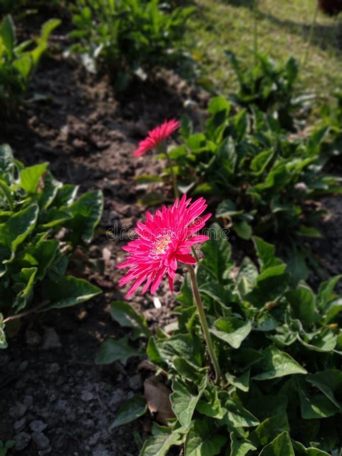 Rosa blommafokus som visar hur härlig mich det är royaltyfri foto