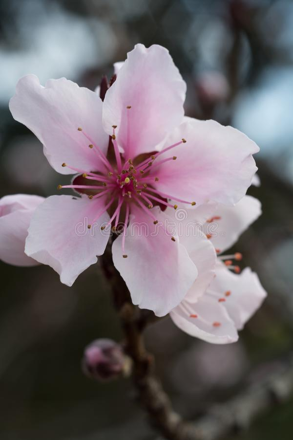 Rosa blommande körsbärsröd blomning royaltyfria foton