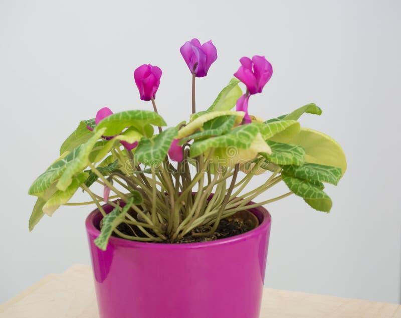Rosa blommande Lathyrus, peavines eller vetchlingsflowe i rosa blomkruka på vit bakgrund fotografering för bildbyråer