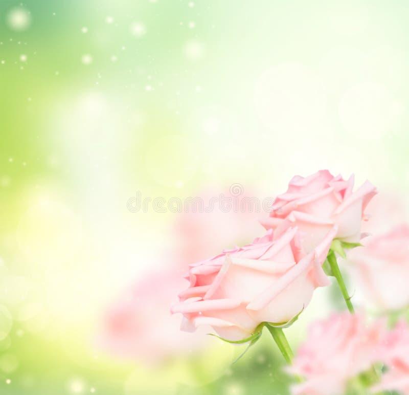 Rosa blommande rosor arkivfoton