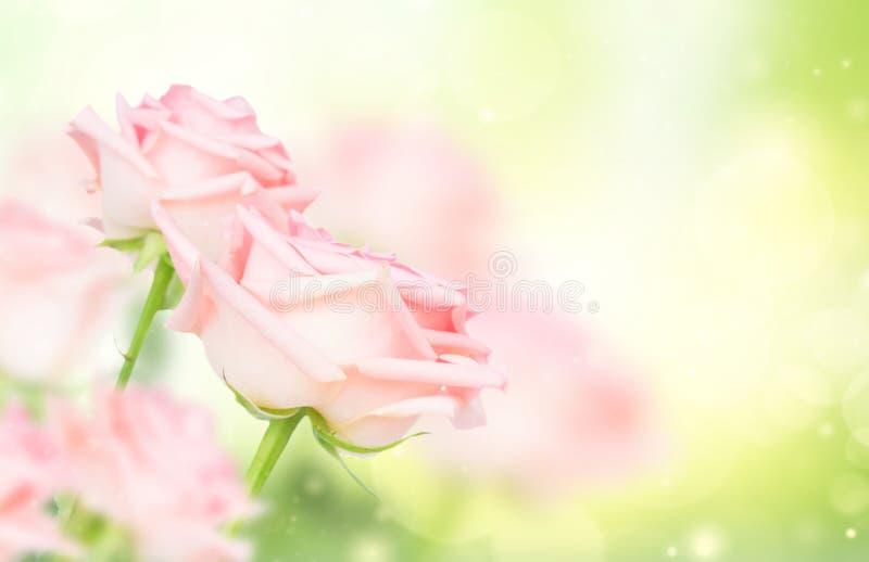 Rosa blommande rosor royaltyfria bilder
