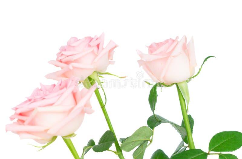 Rosa blommande rosor fotografering för bildbyråer