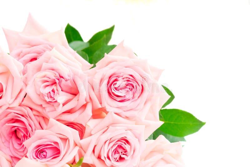Rosa blommande rosor royaltyfri bild
