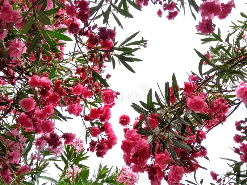 Rosa blommaoleander fotografering för bildbyråer
