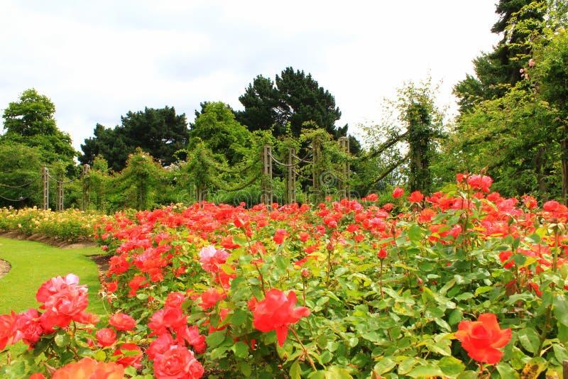 Rosa blommaträdgårdar i regenter parkerar London arkivfoto