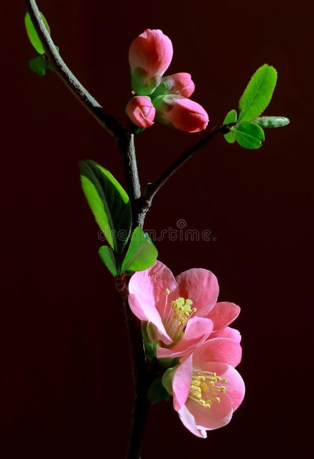 Rosa blommor av att blomma trädet för löst äpple arkivbild
