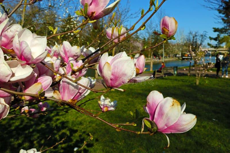 Rosa blommor av att blomstra magnolian för magnoliaträdtefatet i våren i parkerar med en flod royaltyfri bild