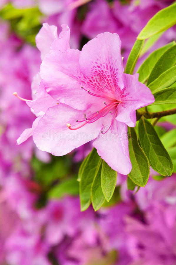 Rosa blommor av azalean arkivfoto