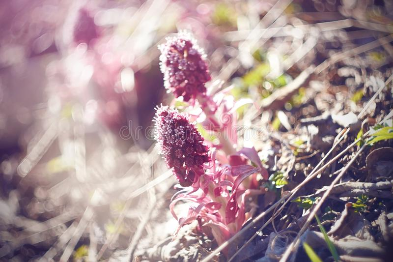 Rosa blommor av butterburen tajmar på våren arkivfoto