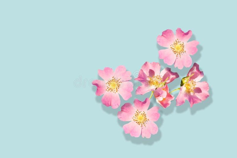Rosa blommor av den lösa rosen som isoleras på turkosbakgrund royaltyfria bilder
