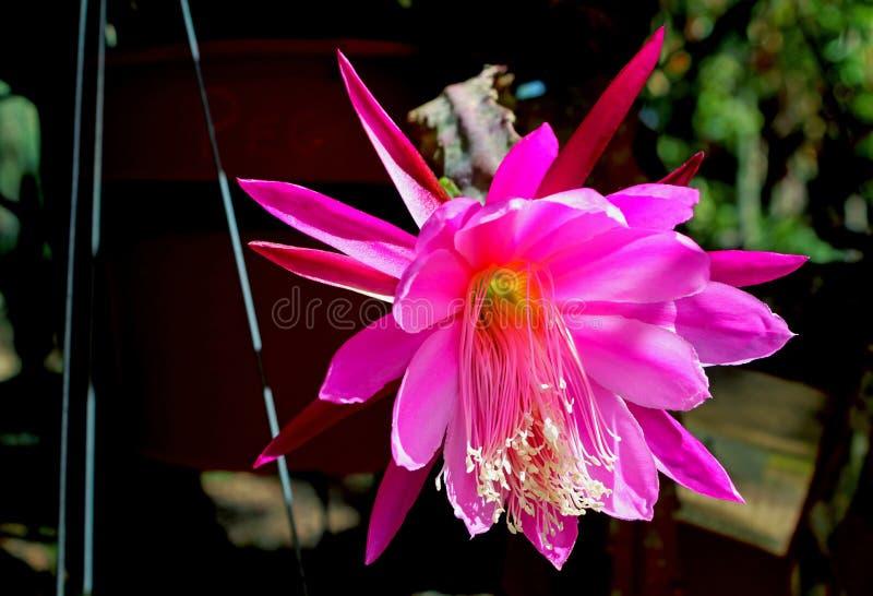 Rosa blommor av denblommande cereusen royaltyfri fotografi