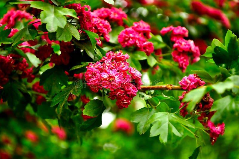 Rosa blommor av det blommande hagtornträdet, i latinsk Crataegus royaltyfri bild