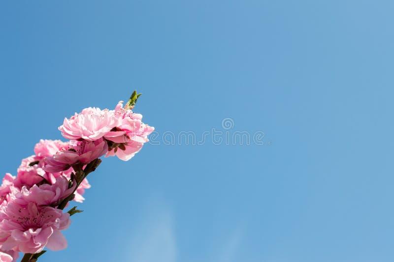 Rosa blommor av en persika arkivfoto