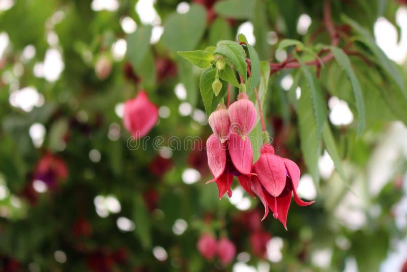 Rosa blommor av fuchsian Fyra färgrika blommor i ett växthus fotografering för bildbyråer