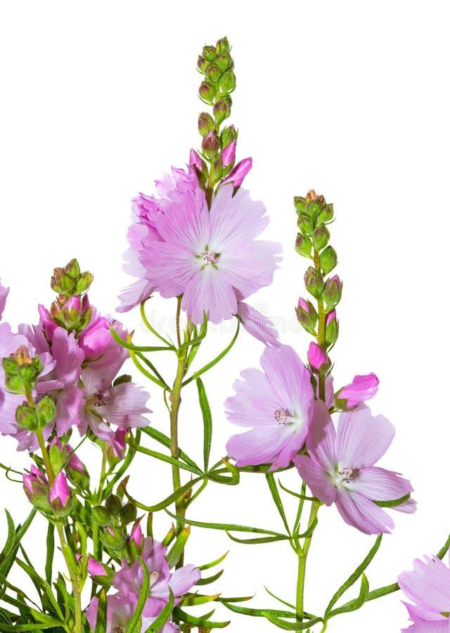 Rosa blommor av präriemalvan royaltyfri fotografi