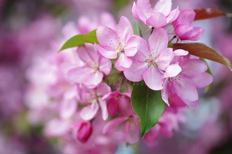 Rosa blommor av slutet för äppleträd upp fotografering för bildbyråer