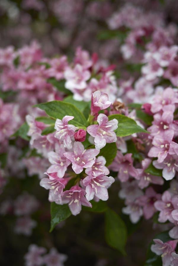 Rosa blommor av weigelabusken royaltyfria bilder