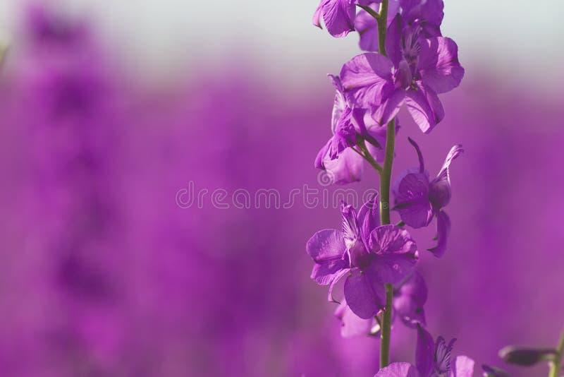 Rosa blommor för Consolidaajacis att stänga sig upp royaltyfri bild